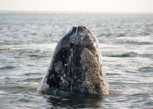 Whale watching in Baja California, Mexico